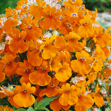 NEMESIA 'Orange Prince'
