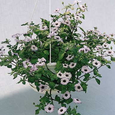 Liten Cymbalblomma 'Little Bells'
