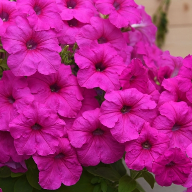 Hängpetunia F1 'Easy Wave Neon Rose'