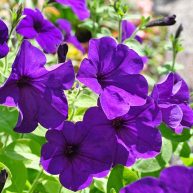 Hängpetunia F1 'Easy Wave Blue'
