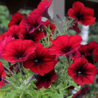 H�NGPETUNIA F1 'Easy Wave Red Velour'