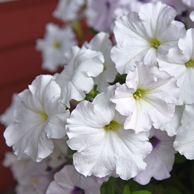 Hängpetunia F1 'Easy Wave White'