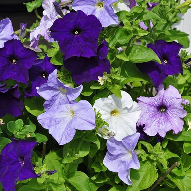 PETUNIA F1 'Aladdin Nautical mix'