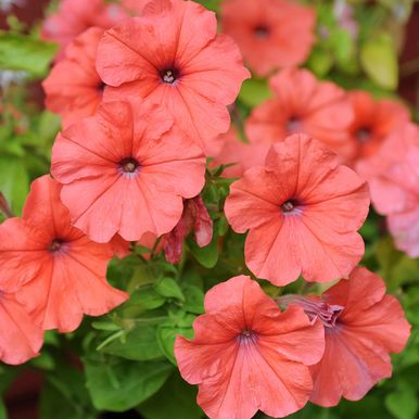 H�NGPETUNIA F1 'African Sunset'