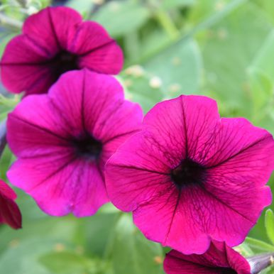 Hängpetunia F1 'Shock Wave Deep Purple'