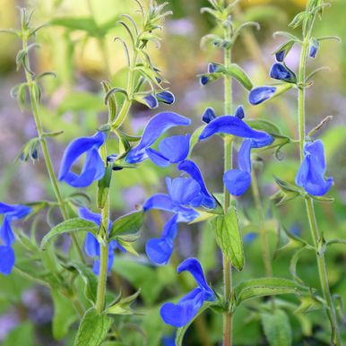 Blåsalvia 'Oxford Blue'