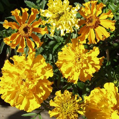 Stor Tagetes 'Carillo'