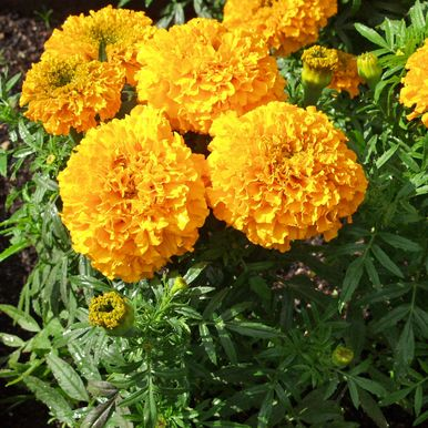 Stor Tagetes 'Odorless Golden Goddess'