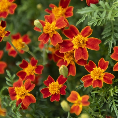 Liten Tagetes 'Red Gem'
