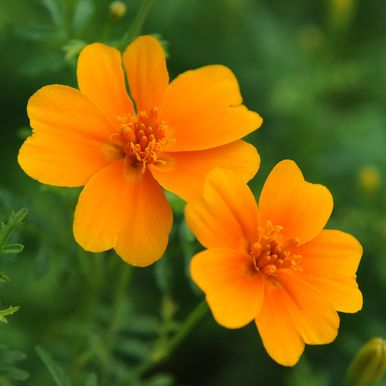 LITEN TAGETES 'Orange Gem'