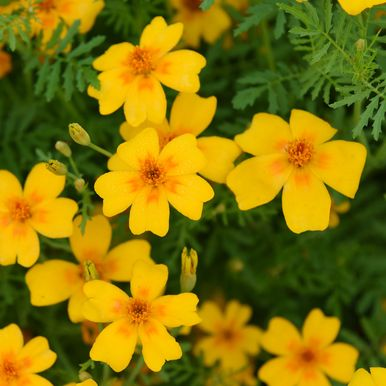 Liten Tagetes 'Golden Gem'