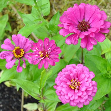 Zinnia 'Purple Prince'