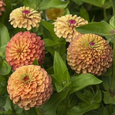 Zinnia 'Queeny Lime Orange'