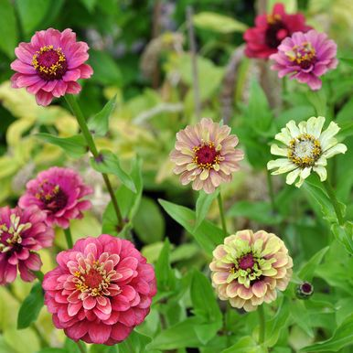 ZINNIA 'Queen Lime Red'
