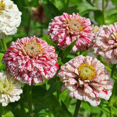 Zinnia 'Pop Art White & Red'