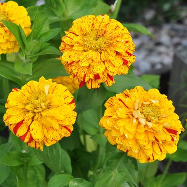 Zinnia 'Pop Art Golden & Red'