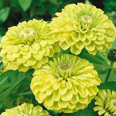 Zinnia 'Green Apple'
