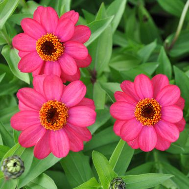 Marylandzinnia 'Zahara Coral Rose'