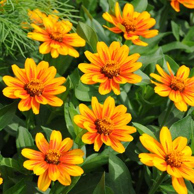 Marylandzinnia 'Zahara Sunburst'