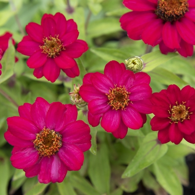 Marylandzinnia 'Zahara Raspberry'