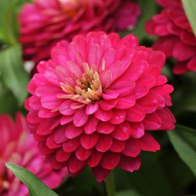 MARYLANDZINNIA 'Double Zahara Strawberry'