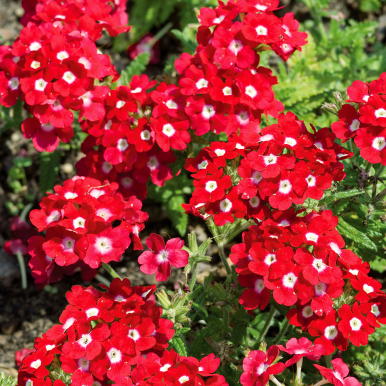 Trädgårdsverbena 'Quartz Red with Eye'