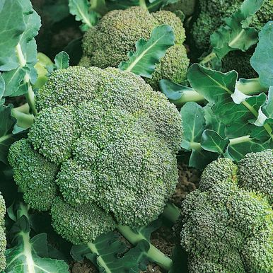 Broccoli F1 'Green Magic'