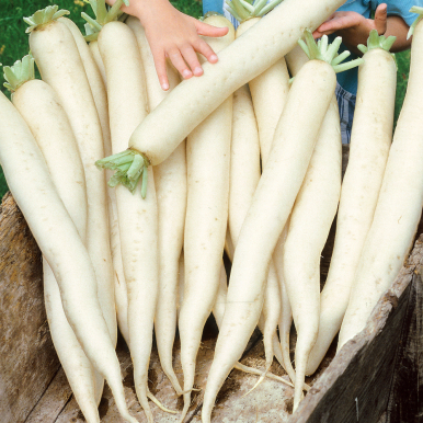 DAIKON 'Minowase Summer Cross Nr 3'