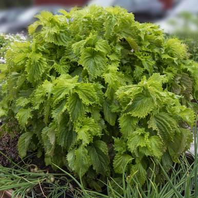 Bladmynta 'Green Ruffled'
