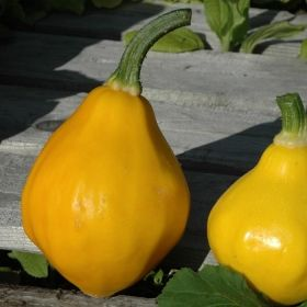 SQUASH F1 'Papaya Pear'