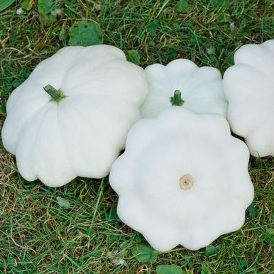 Musselsquash 'Custard White'