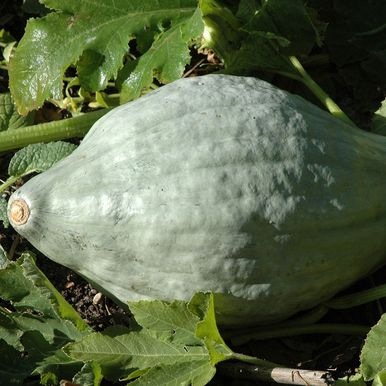 Vintersquash 'Hubbard Large Blue'