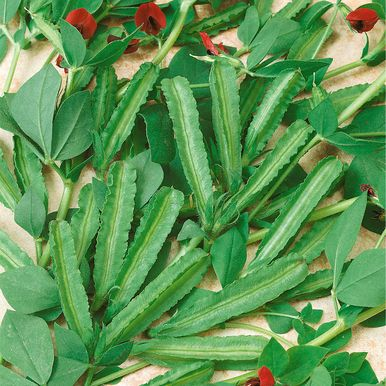 Sparrisärt 'Winged Bean'