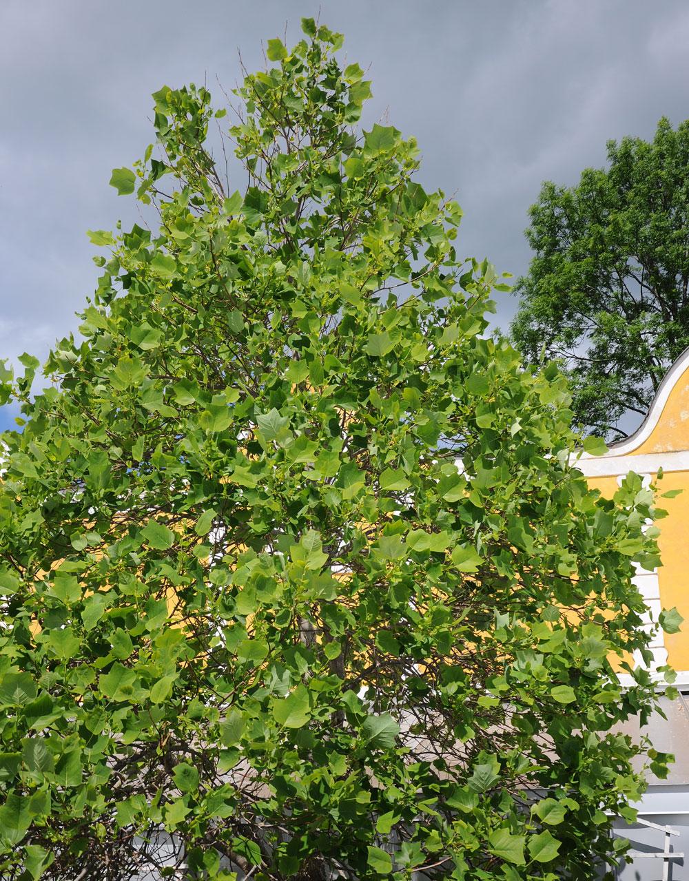 What Is A Sedan >> Tulpanträd | Buskar och Träd | Liriodendron tulipifera