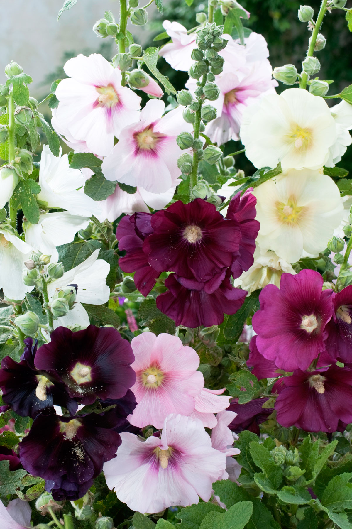 Old fashioned hollyhock seeds 56