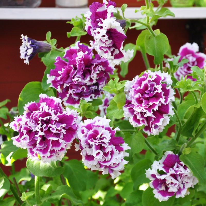 Dwarf Petunia Picoti Purple F1 Annual Flower Seeds Petunia x hybrida