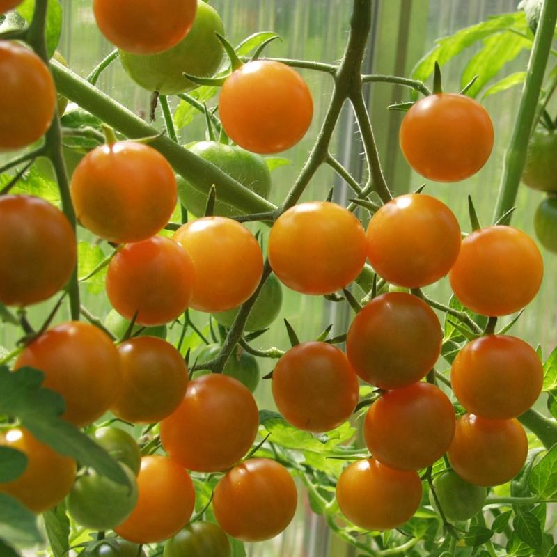 Körsbärstomat F1  Sungold  i gruppen Fröer   Grönsaksväxter    Fruktgrönsaker   Tomater   Körsbärstomater 8b460a02d74c8