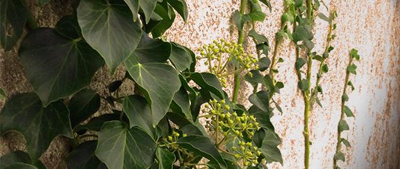 Murgröna - en klättrande perenn