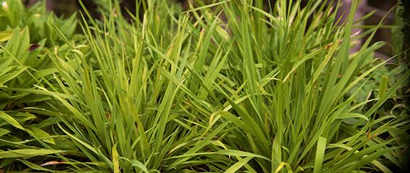 Vårbrodd - ett perent gräs