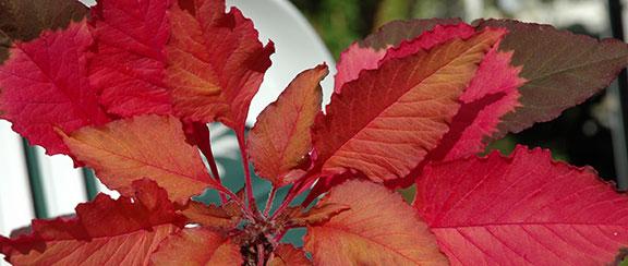 Fröer till bladväxter