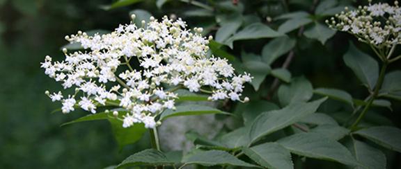 Buskar - en tacksam växt i trädgården.