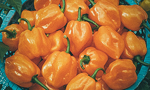 Havannapeppar 'Habanero Orange'