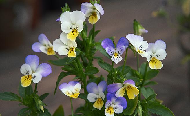 6663 Viola tricolor