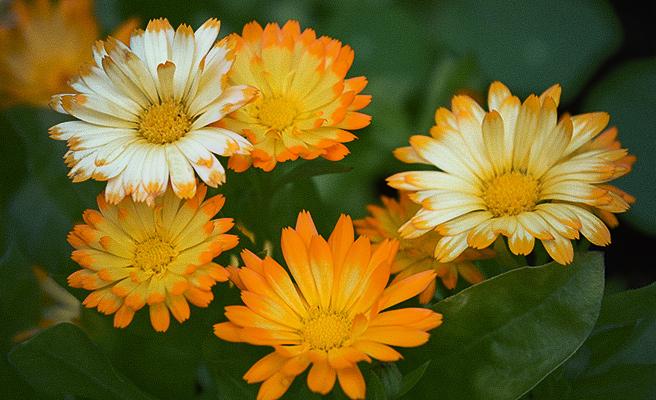 81991 Calendula officinalis 'Oopsy Daisy'