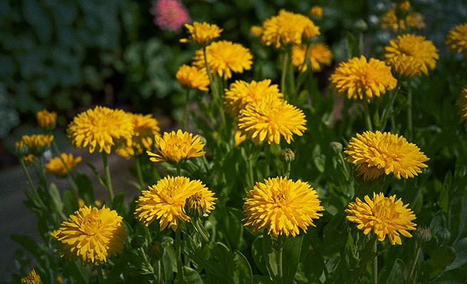 82041 Calendula officinalis 'Porcupine Yellow'