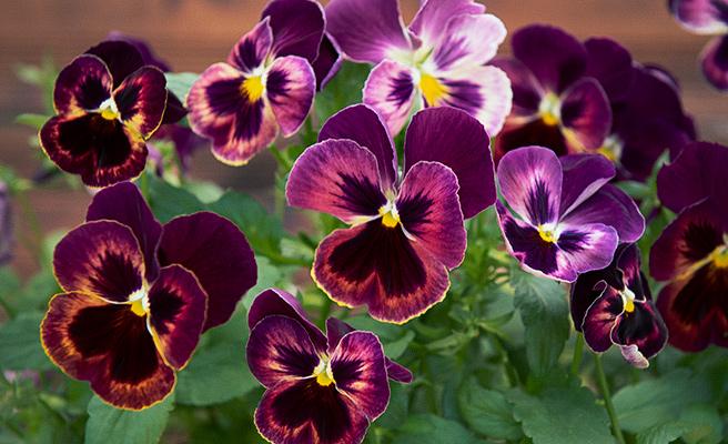 Vakre stemorsblomster. De er i slekt med andre fioler, i fiolfamilien.