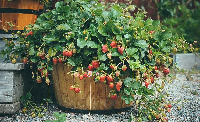 Det er vakkert å dyrke jordbær i potter.