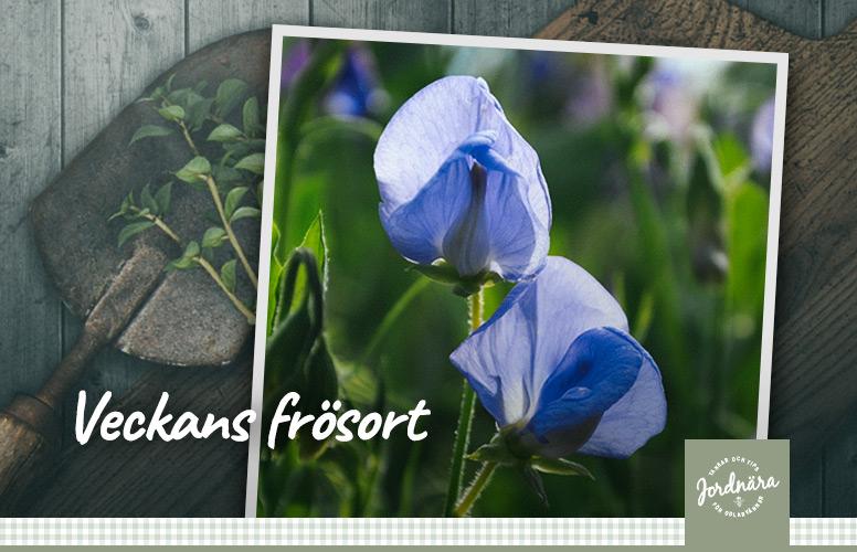Luktärt 'Old Spice Flora Norton'
