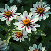 Marylandzinnia 'Zahara Starlight Rose'