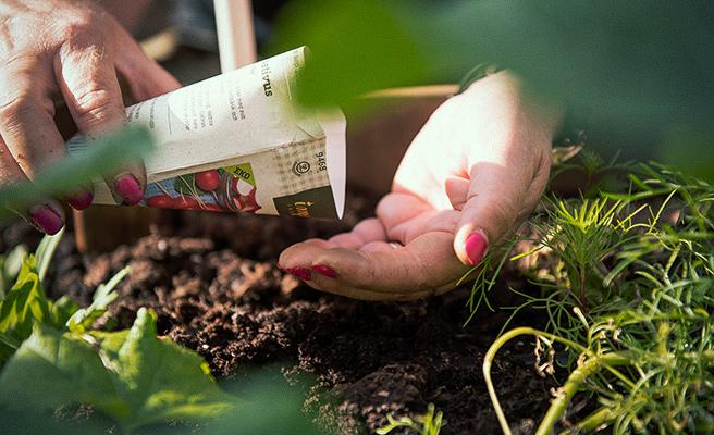 Sensommer i hagen kan brukes til å så nye frø.